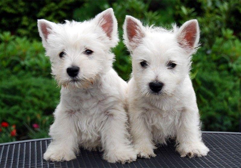 Two Westie Pups Westie Puppies Westie Dogs Westies