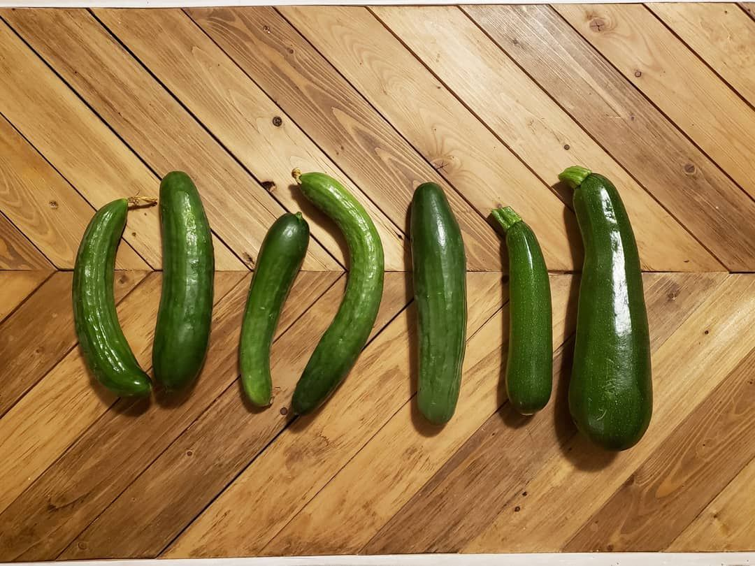 First harvest of cucumber and zucchini 5 good sized english cucumbers and 2 zucchini One is huge Swipe to see a nice size comparison to our kitty Scamp with the big zucch...