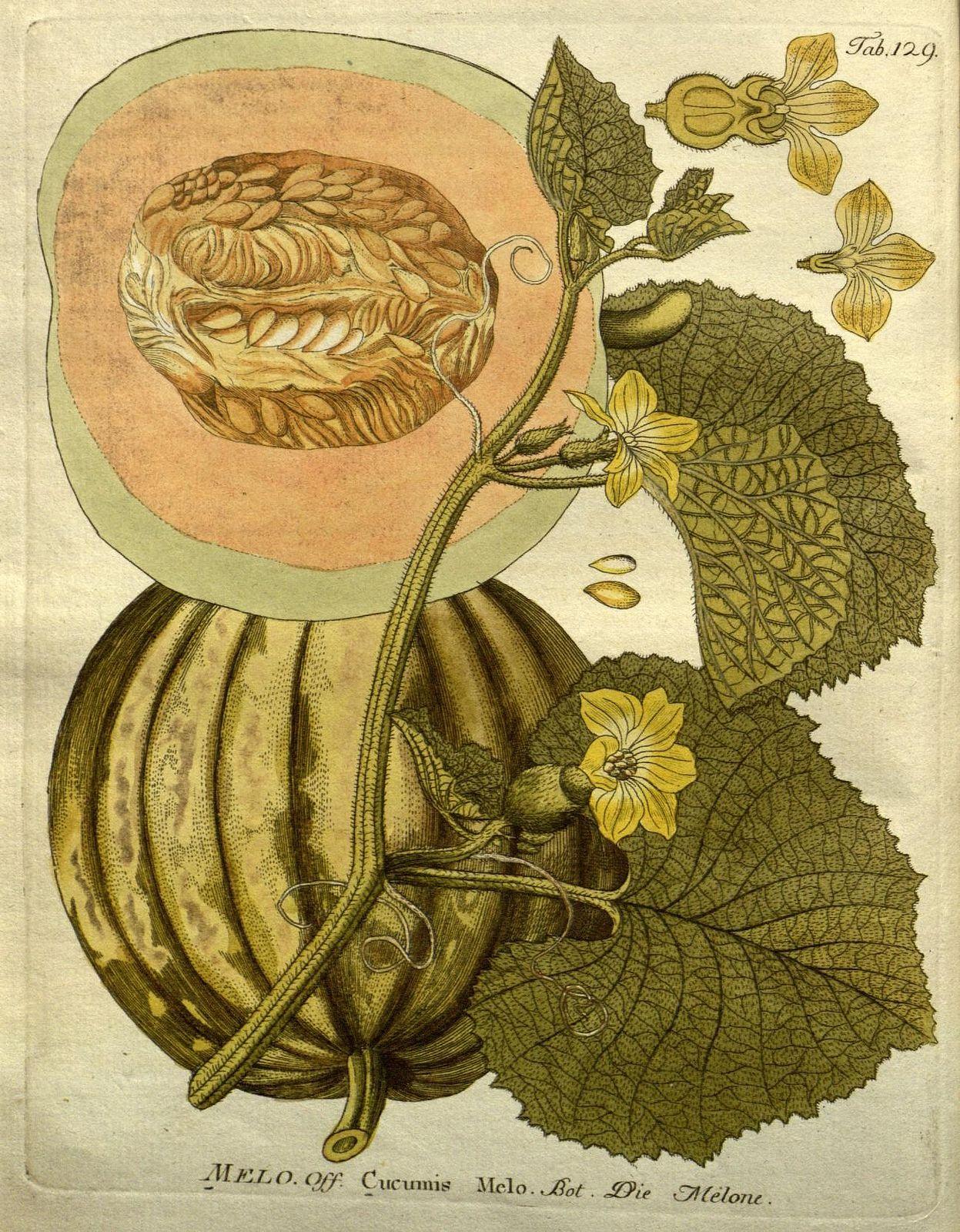 Icones plantarum medico-oeconomico-technologicarum cum earum fructus ususque descriptione =. Wien :herausgegeben von Ignatz Albrecht und verlegt bey Phil. Jos. Schalbaecher ...,[1800]-1822.. biodiversitylibrary.org/page/6466931