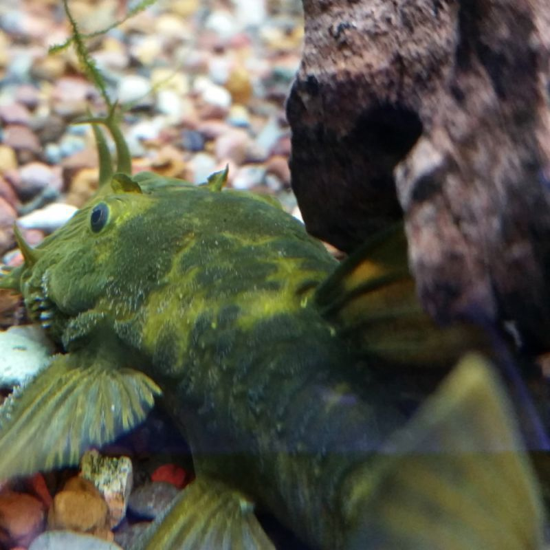 Green Dragon Bristlenose Plecos Plecostomus Fish Pet Green Dragon