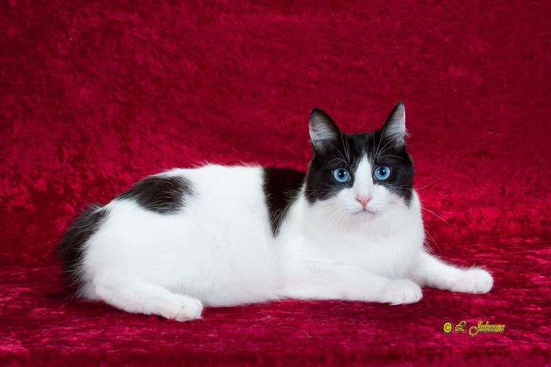 Pictures of Japanese Bobtail Cat Breed | Japanese bobtail ...