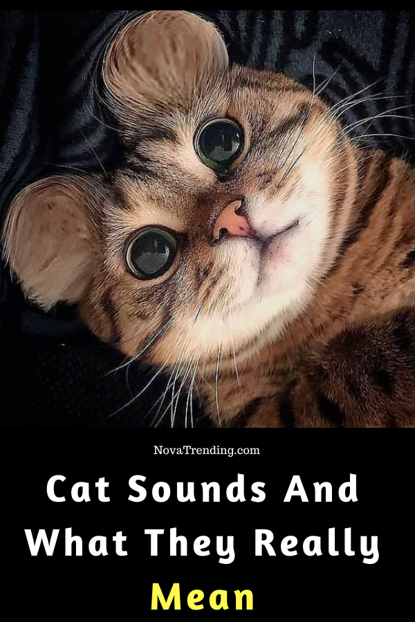 The Weird 6 Cat Sounds Meaning Cats, Crazy cats, Puppy care