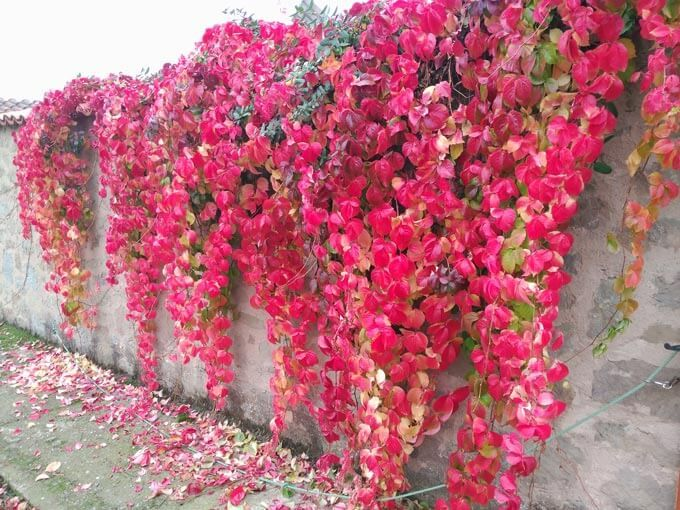 Parra Virgen Parthenocissus Quinquefolia Jard 237 N De