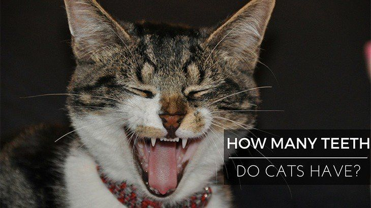 How Many Teeth Do Cats Have? (With images) Laughing cat