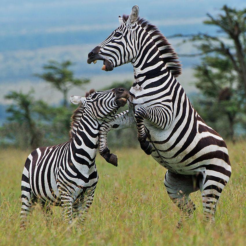 мой покажи картинки зебры как ее любить а не говори мозаики для