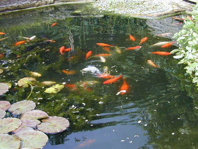 ALPINE FISHERY,Wholesalers of fish for Aquaponics,Fishing Lakes and