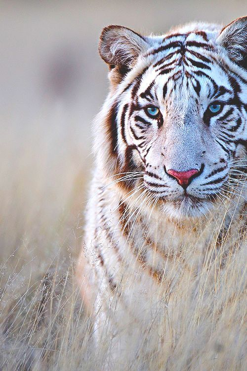 Lindo Tigre Branco Animais Selvagens Animais Silvestres