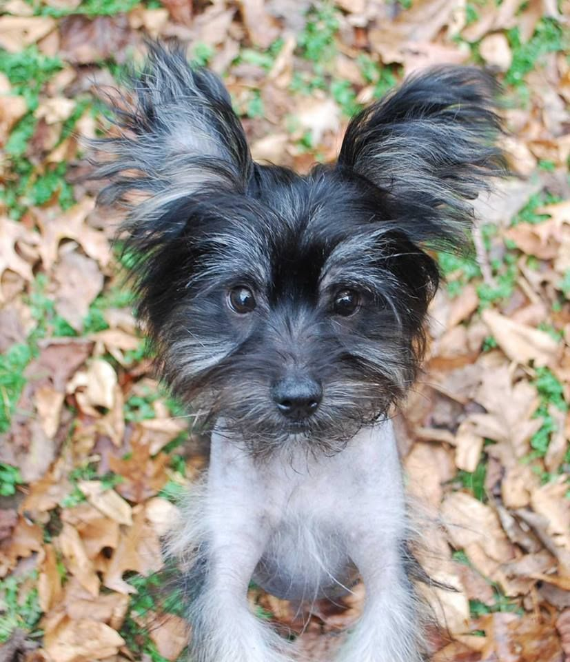 Chinese Crested Pomeranian Mix