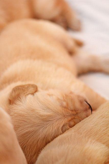 New Born Golden Retriever Puppies Puppy Breath Golden Retriever
