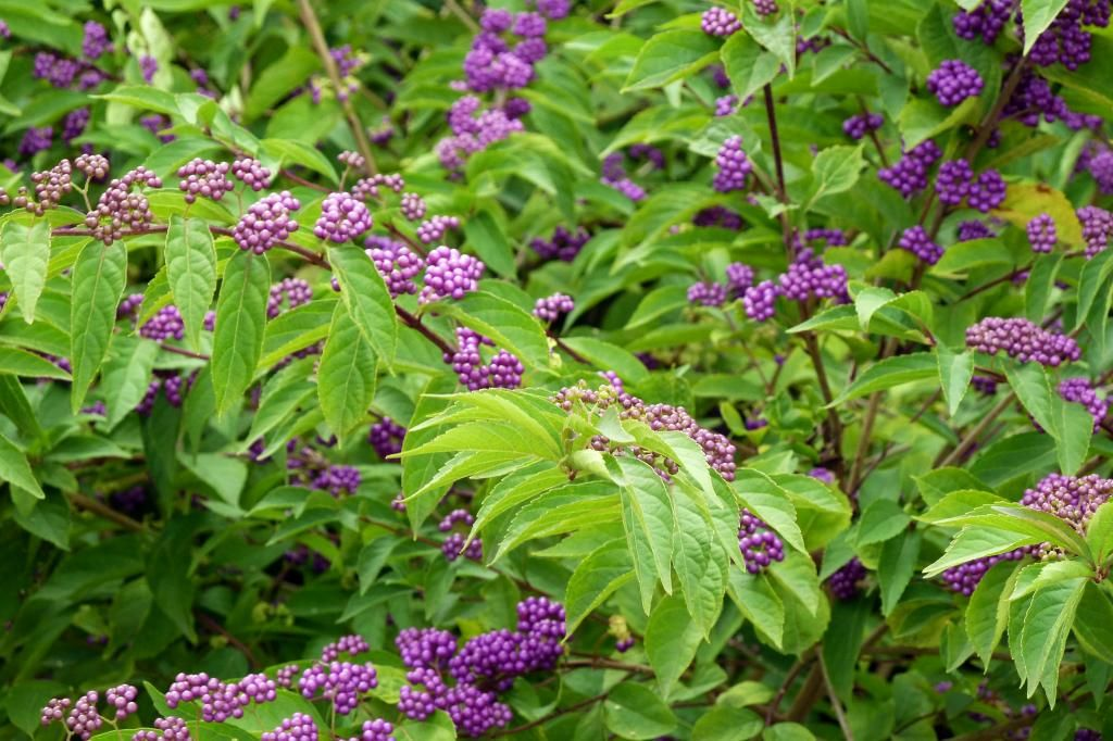 Callicarpa Bodinieri For A Profusion Of Violet Berries In Autumn Growhort Grow Your Horticultural Knowledege
