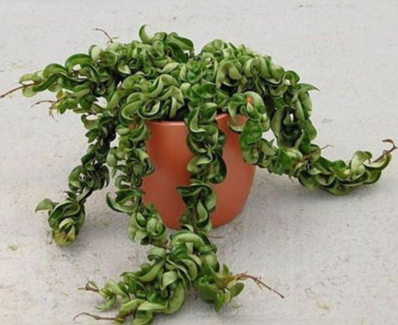 Hindu Rope Plant Hoya Cuttings Krinkle Kurl Hoyas Live Rare
