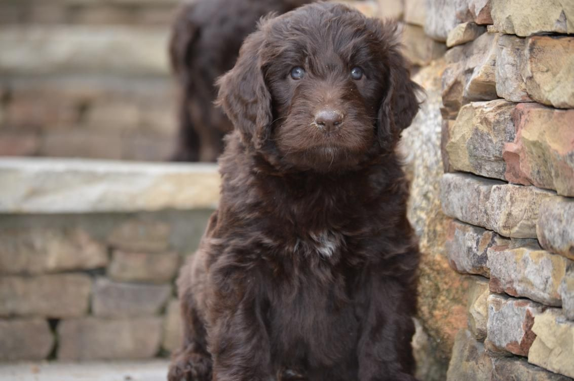 What We Do Newfiedoodles Newfypoos Puppies Labrador Retriever Puppies For Sale
