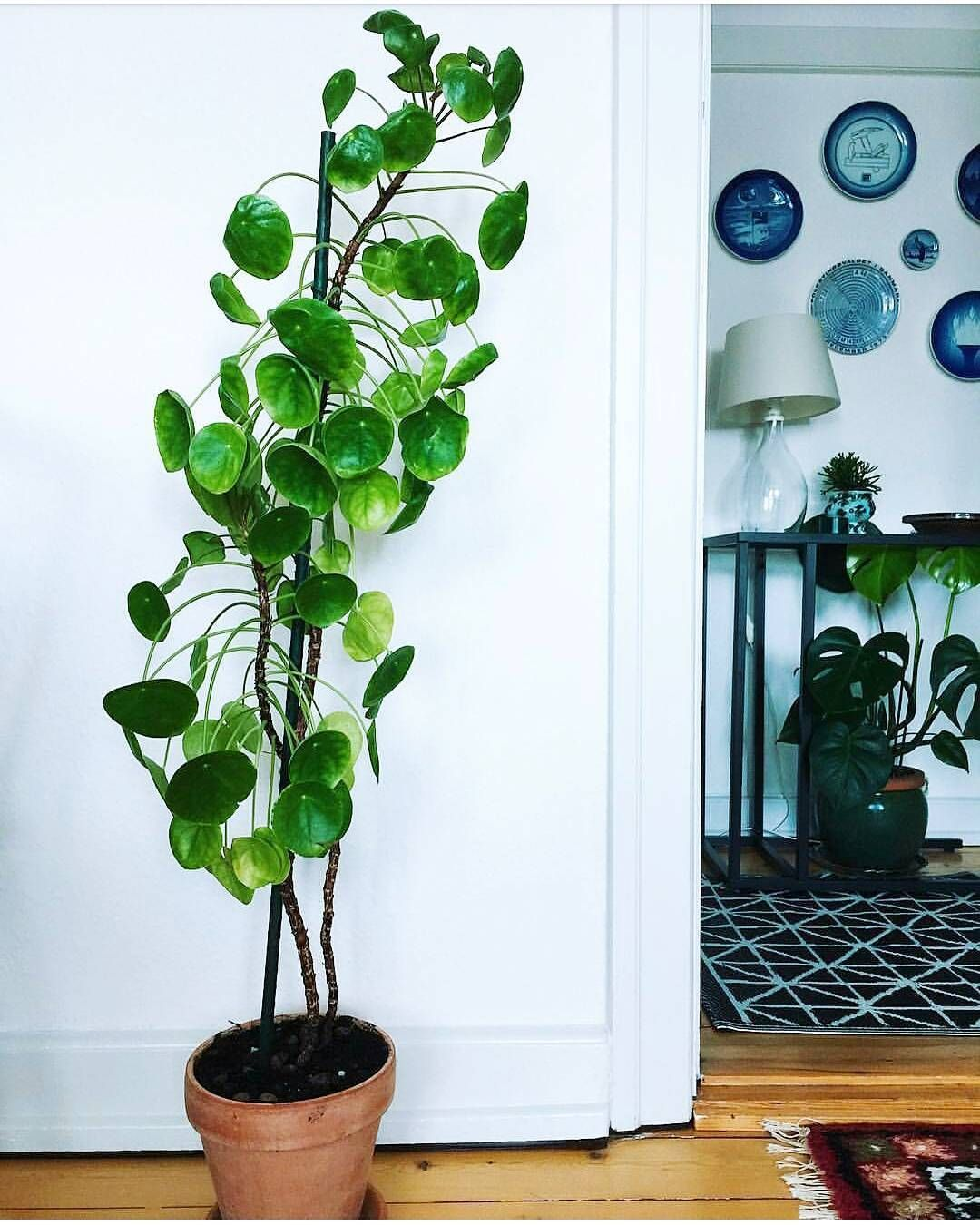 Houseplants Indoor Plants Plants Decor Home Decor Interior Style Plant Corner Pilea Peperomioides Nordic Style Scandinav Plants Plant Decor Chinese Money Plant