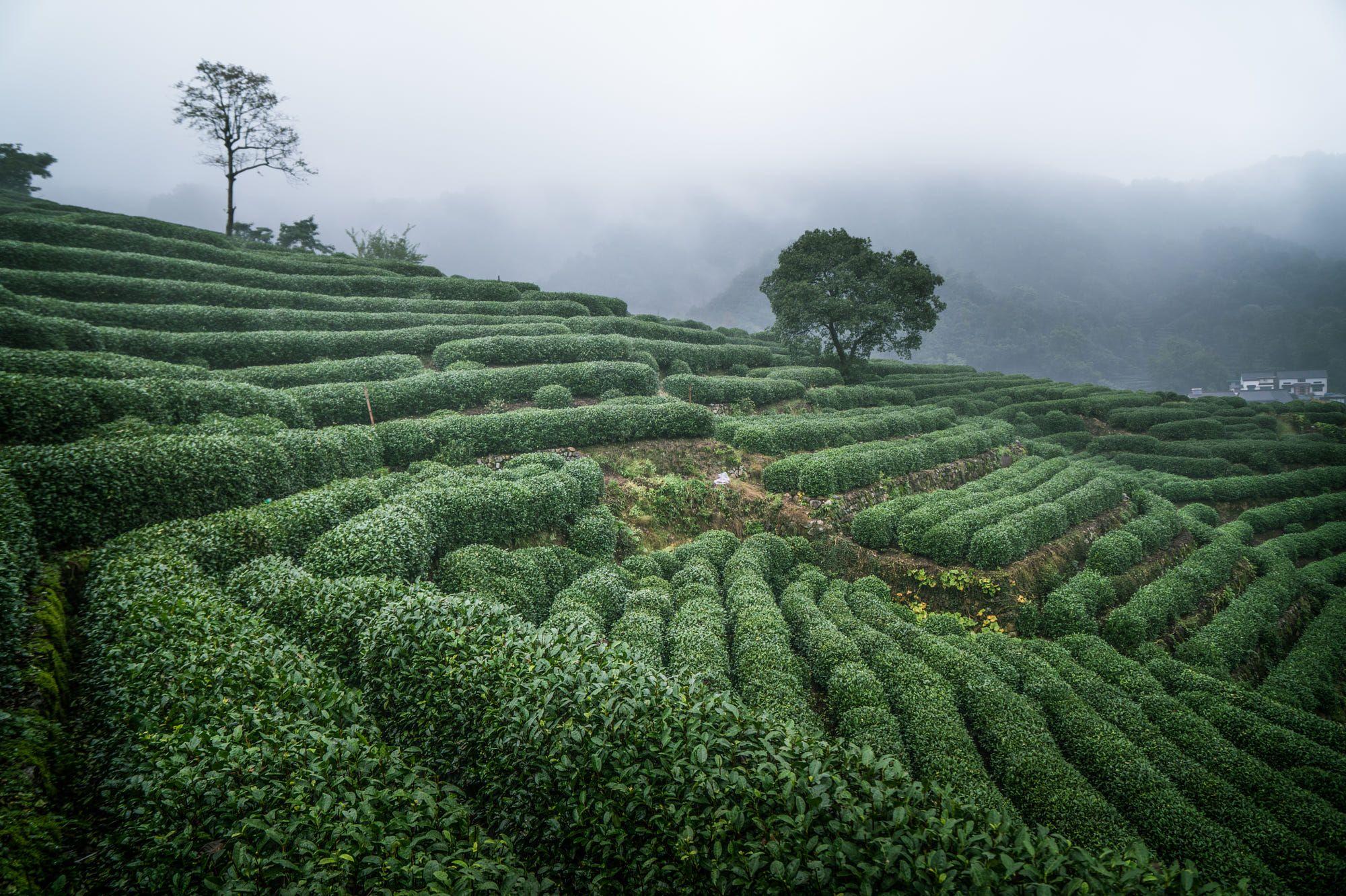 Landscape of tea field in fog teadaw teafield Hangzhou