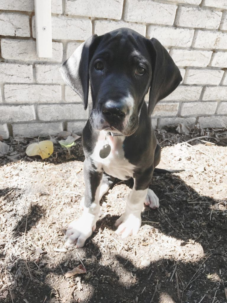 Living With A Great Dane Puppy Great Dane Puppy Dane Puppies