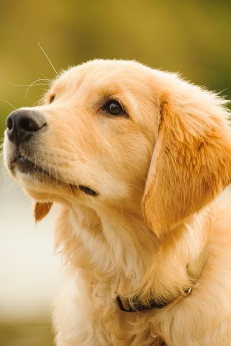 Golden Retriever Puppy Head Shot Goldenretriever In 2020 Golden Retriever Retriever Puppy Golden Retriever Puppy