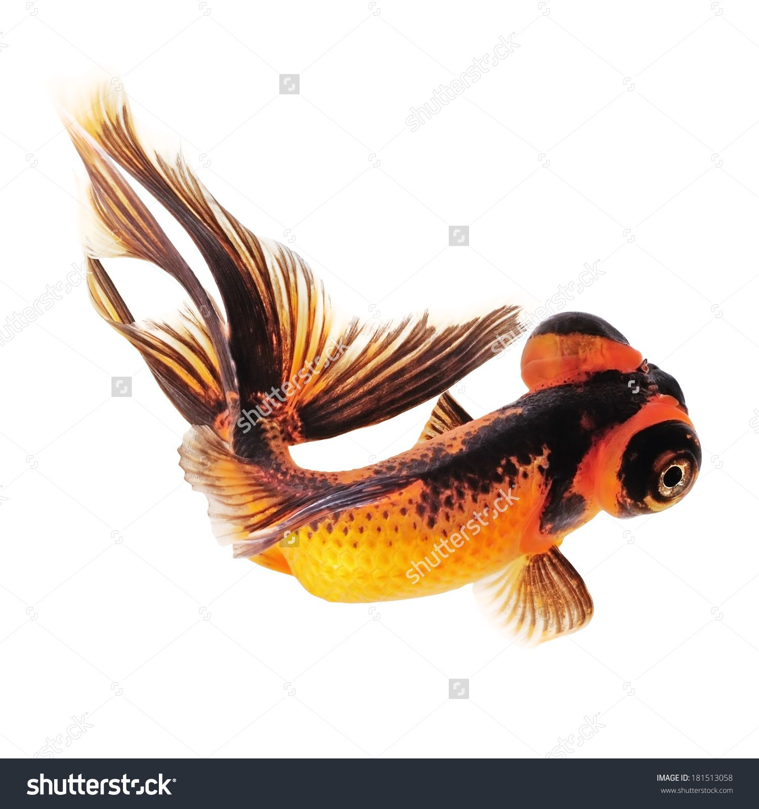 stock photo telescope eye goldfish with a black tail isolated on