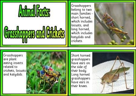 Free Animal Facts Printable Flashcards Or Posters Animal Facts For Kids Grasshopper Facts Printable Flash Cards