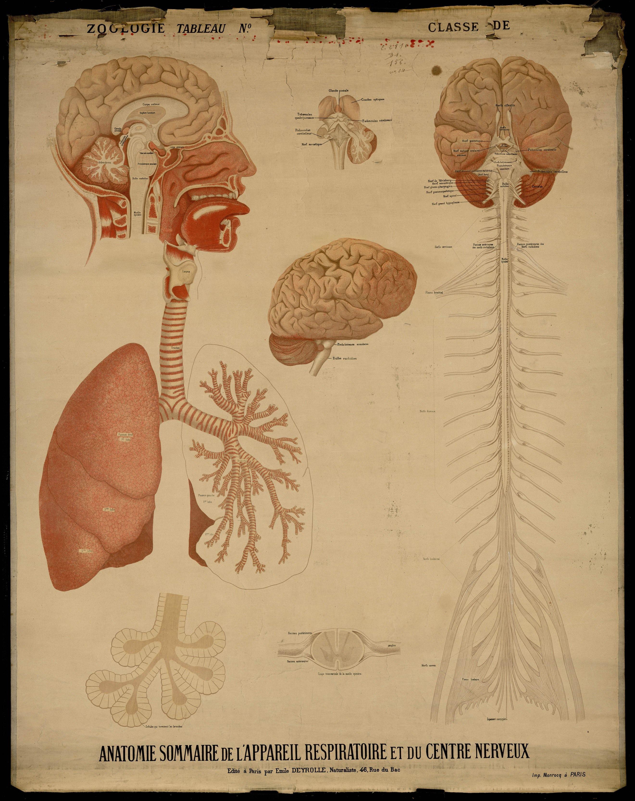 Anatomie Sommaire de l\'Appareil Respiratoire et du Centre Nerveux ...