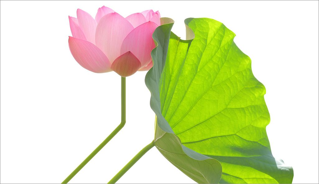 Pink Lotus and the Backlit Leaf - DD0A3490-1000 | by Bahman Farzad