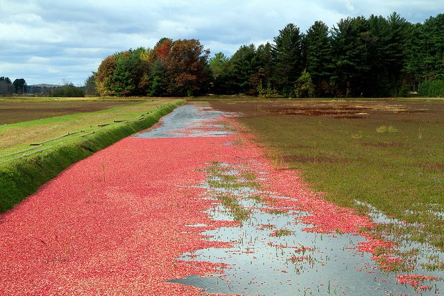 """After record harvests were recorded for farmersin Wisconsin and Canada, cranberries are in excess supply andprices for the fruit have dropped. Now, in order to stabilize the market, the U.S. Department of Agriculture has announced it will purchase up to 68 million pounds of cranberries. """"Lochner said prices for consumers may increase while the market stabilizes."""" Gee, thanks."""