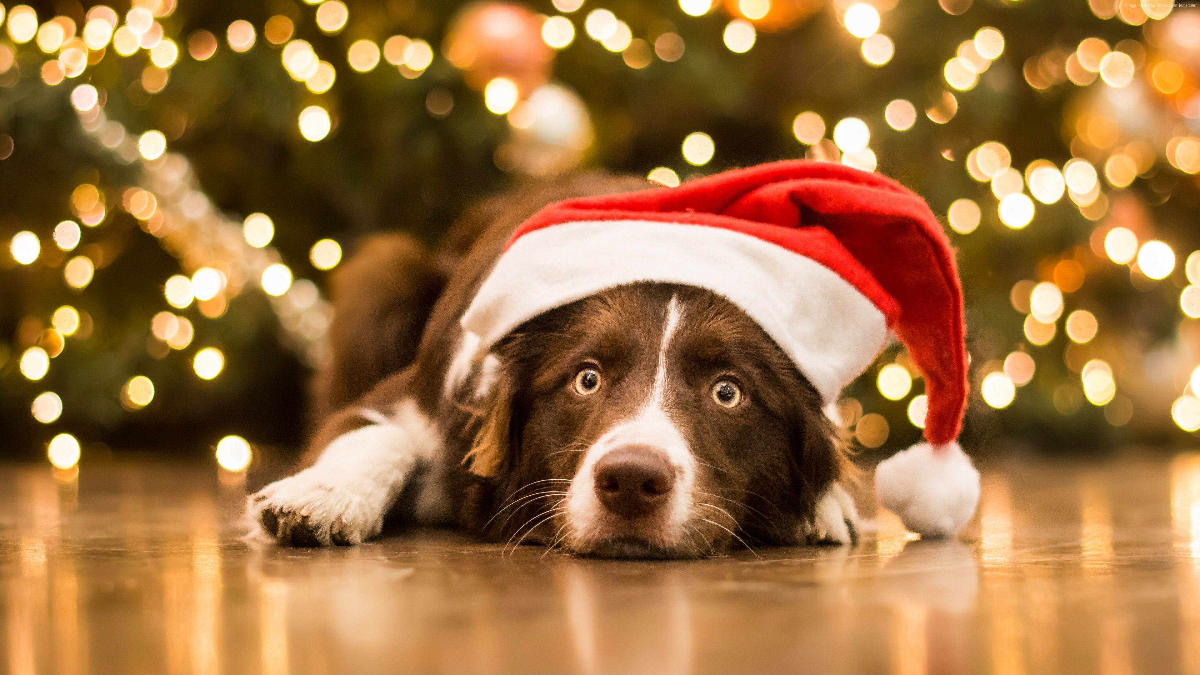 Wallpaper Christmas New Year Dog Cute Animals 5k Holidays Wallpaper Download Christmas Dog Dog Christmas Photos Cute Animals