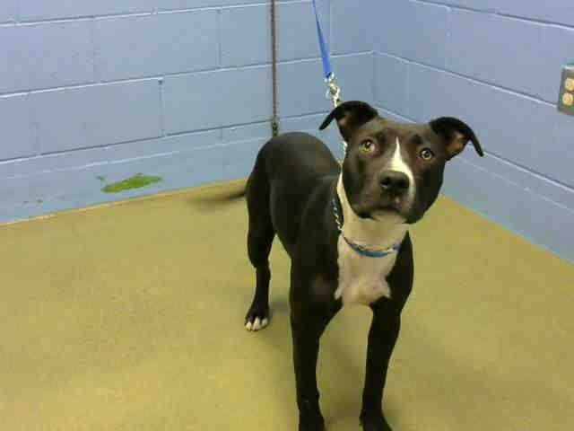 SAFE ★★ AT RISK FOR EUTHANASIA ★★ PER SHELTER, NEEDS AN ADOPTER OR RESCUE COMMITMENT BY EOB THURS 7/31  **OWNER SURRENDER ** 3 DAYS**   Rocky #A438368 (Moreno Valley, CA)  Neutered male, black and white Pit Bull Terrier mix.  The shelter thinks I am about 8 months old...        City of Moreno Valley Animal Control Services https://www.facebook.com/135559229932205/photos/a.136023899885738.29276.135559229932205/339430102878449/?type=3&theater