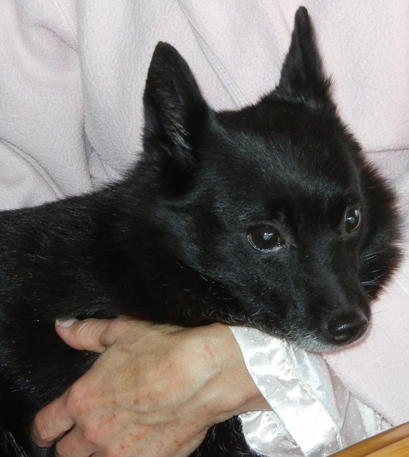 Adopt Miss Tilly On Schipperke Dog Schipperke Puppies Cute Dogs