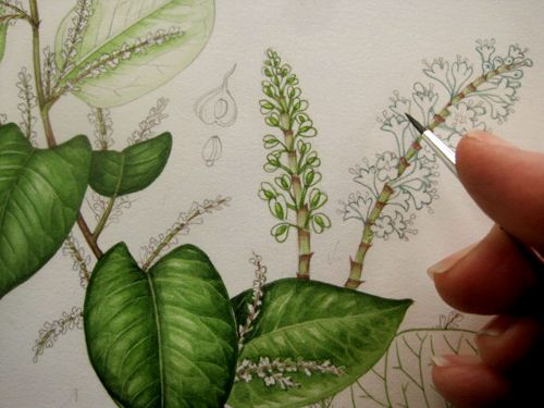 Japanese Knotweed Sketchbook Study Botanical Illustration