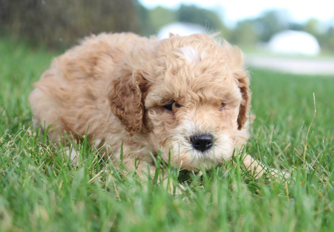 Carson Akc Cavapoo Puppies For Sale In Shipshewana Indiana Vip Puppies Cavapoo Puppies Puppies Corgi Puppies For Sale