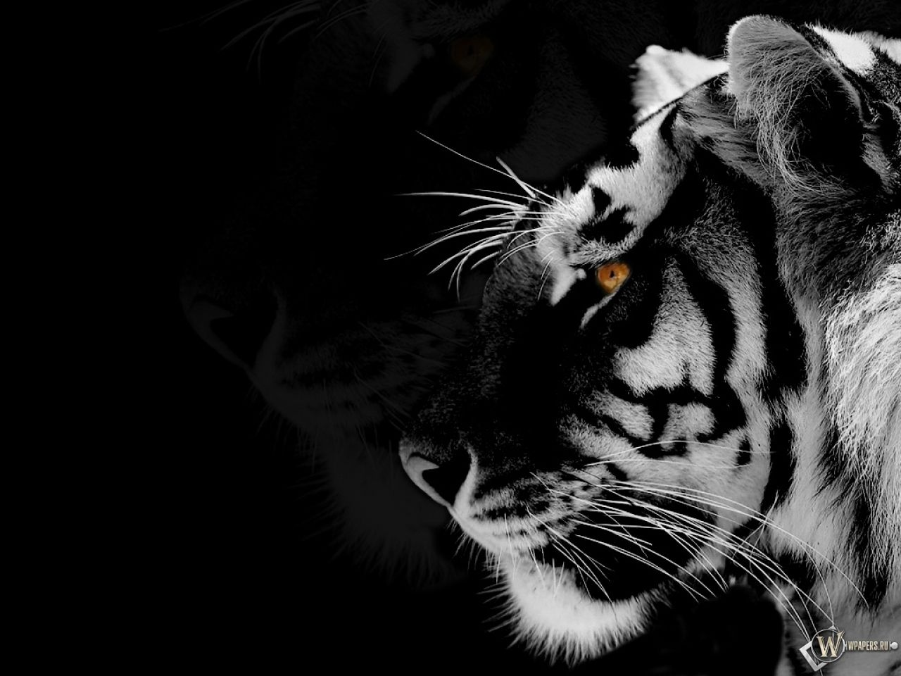 black tigers animal - photo #11