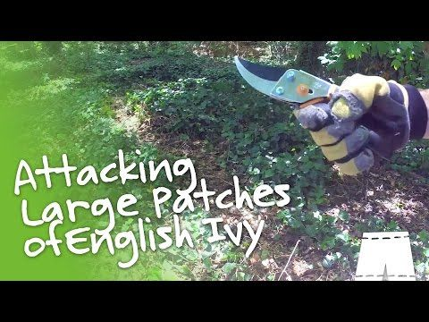 How To Remove English Ivy Large Patch Greenshortz Diy