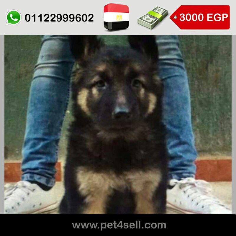 مصر الأسكندرية جرو جيرمن كسحة وش مفحم لعبى جدا Pet4sell Dogs Animals