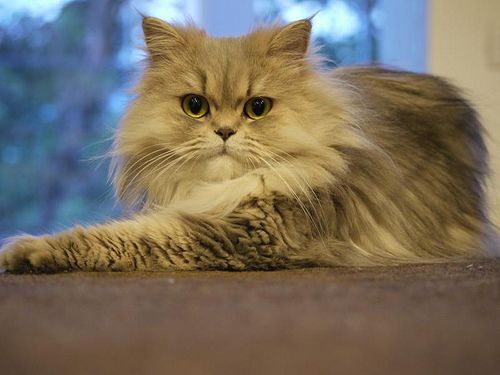 Grey Persian Cat Chilerito With Images Cat Breeds Persian