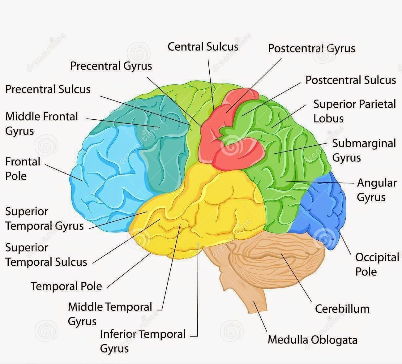 Labeled Pictures Of The Brain | Brain diagram, Brain ...