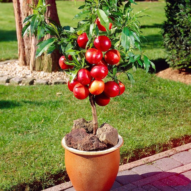 Top 9 Fruits You Can Grow In Pots Diy Morning Container Gardening Fruit Dwarf Fruit Trees Fruit Plants