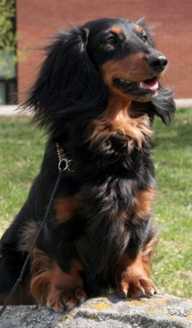 Pin By Debra Mutz On Dachshunds Dachshund Dog Long Haired Dachshund Dachshund Puppies