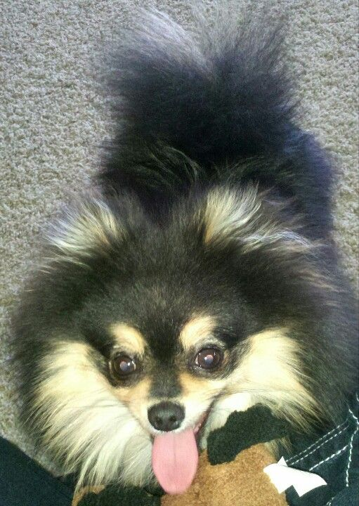 Kodi - Black and tan Pomeranian | pomeranian | Pinterest ...