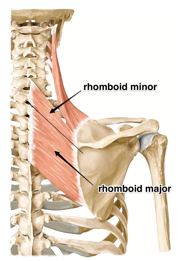 Rhomboids Yoga Anatomy Therapy Stuff Pinterest Yoga Anatomy