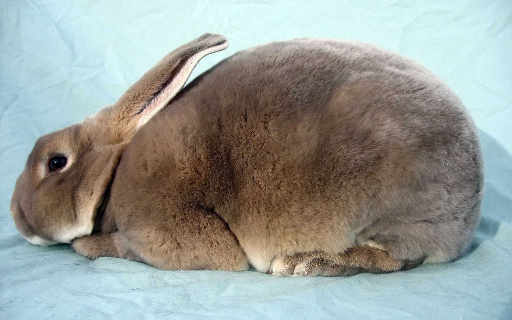 A Velveteen Rabbit Bunny Wallpaper Rabbit Breeds Rex