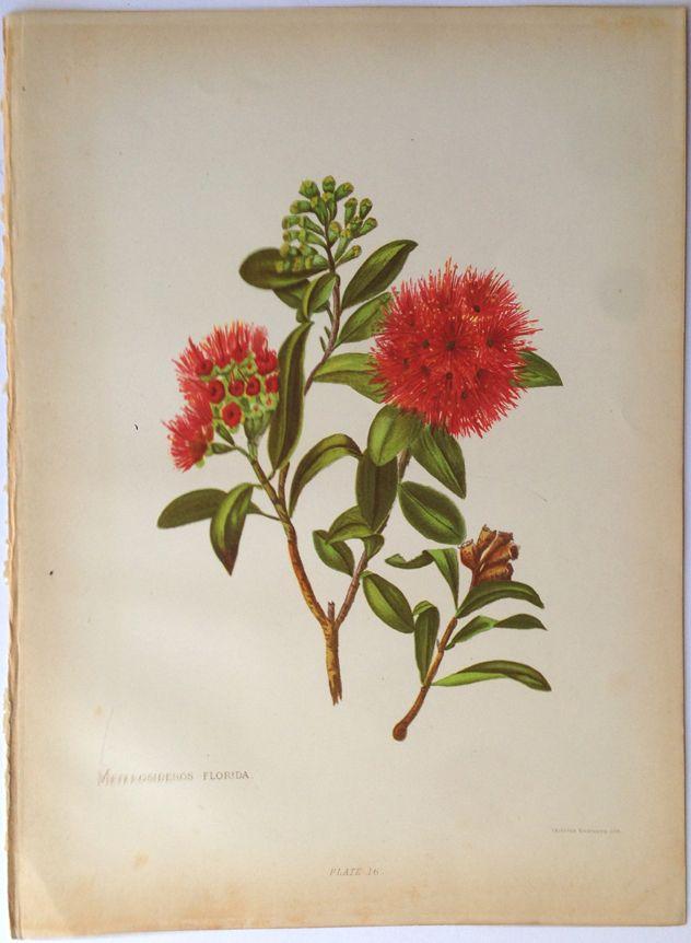Georgina Hetley - Rata, Metrosideros florida ... Vintage Flower Tattoo Sleeve