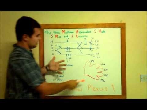 Med School 101 - Brachial Plexus Terminal Endings Made Easy   the ...