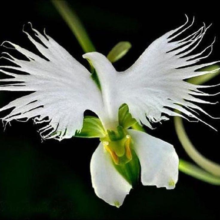 200pcs Japanese Egret Flowers Seeds White Egret Orchid Seeds Radiata Rare White Orchid Home Garden is part of Orchid seeds, Strange flowers, Egret orchid, Unusual plants, Orchids garden, Exotic flowers -