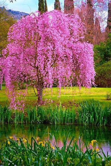 The Season Of Cherry Blossoms Dreamy Nature Beautiful Tree Flowering Trees Blossom Trees
