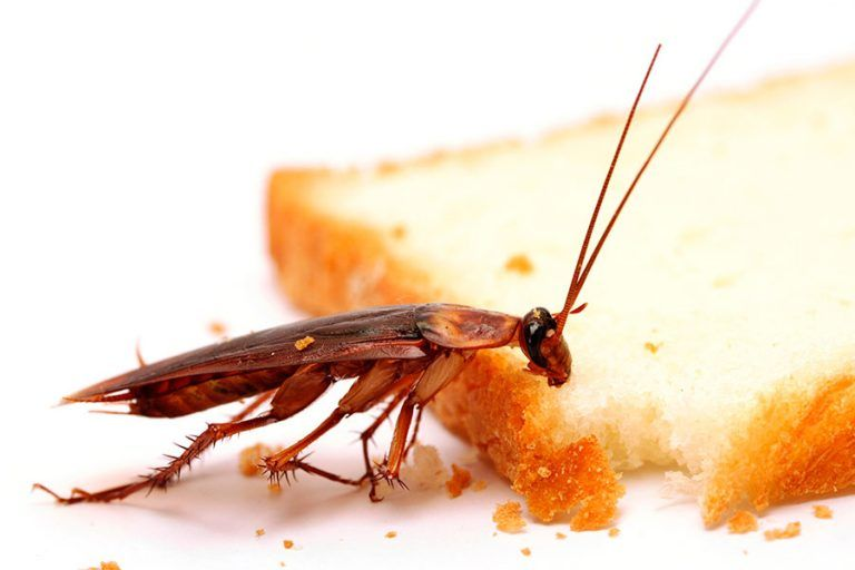 Cockroaches Are Very Risky Pests To Have Both At Business Premises