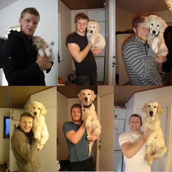 A Golden Retriever Puppy And The Stages Of His Growing With So