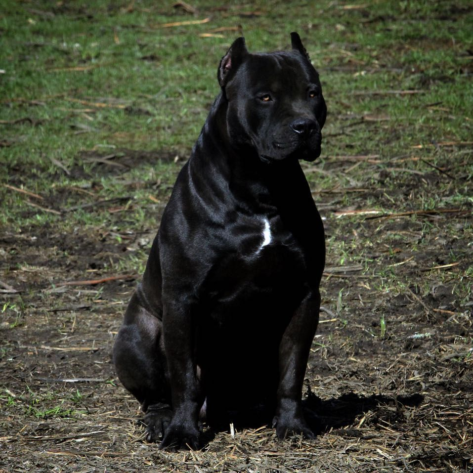 The One And Only Prague Pitbull King Beauty Beast Black