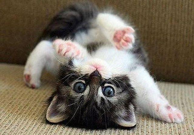 Kitty Yoga #yoga #cat #cats #kitty by UploadCats.com, via Flickr