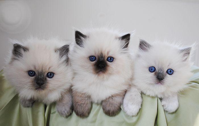 Available Ragdoll Kittens Ragdolls Kittens For Sale Ohio Ragdoll Kitten Kittens Kitten For Sale