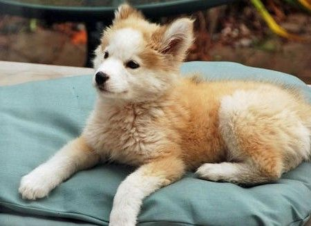 Goberian Puppies For Sale Price 250 00 Puppies Puppies For